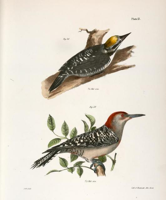 36. The Arctic Woodpecker (Picus arcticus). 37. The Red-bellied Woodpecker (Picus carolinus).