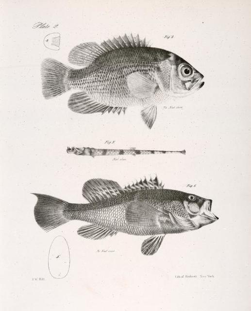 4. The Fresh-water Bass (Centrarchus æneus). 5. The Black Sea Bas (Centropristes nigricans). 6. The American Aspidophore (A. monopterygius).
