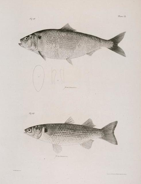 41. The American Shad (Alosa præstabilis).  42. The Striped Mullet (Mugil lineatus).