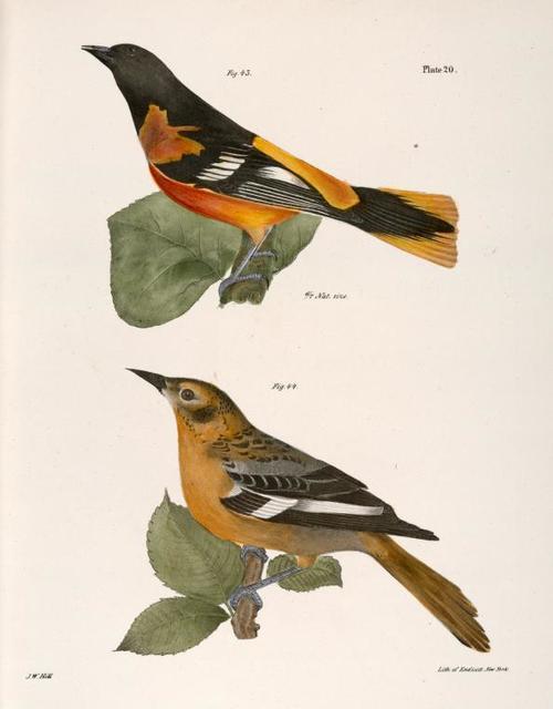 43. The Golden Oriole (Icterus baltimore). 44. Ditto, female.