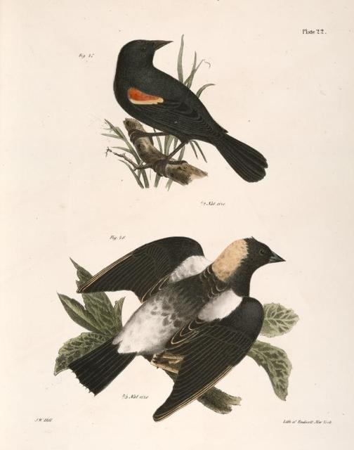47. The Red-winged Oriole (Icterus phoeniceus). 48. The Boblink (Dolichonyx oryzivora).