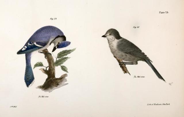 54. The Blue Jay (Garrulus cristatus). 55. The Canada Jay (Garrulus canadensis).