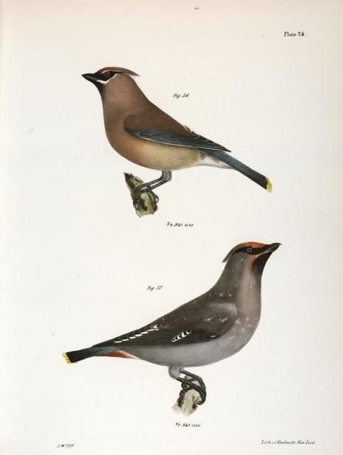 56. The Cedar Bird (Bombycilla carolinensis).  57. The Bohemian Waxwing (Bomyicilla garrula).