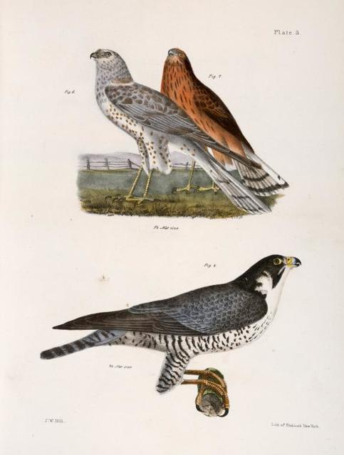 6. 7. The Marsh Harrier  (Circus uliginosus). 8. The Duck Hawk (Falco anatum).