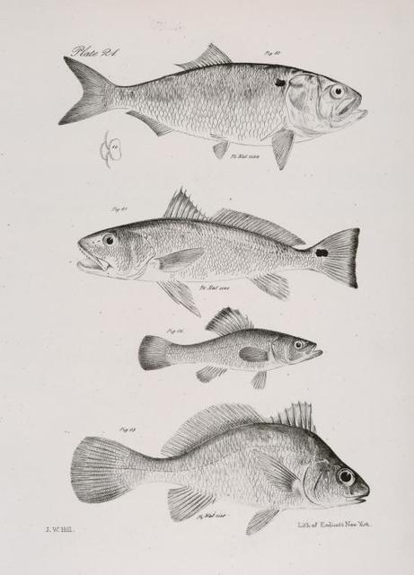 60. The Mossbonker (Aosa menhaden). 61. The Branded Corvina (Corvina ocellata). 62. The Spineless Perch (Aphredoderus sayanus). 63. The Lake Sheepshead (Corvina oscula).