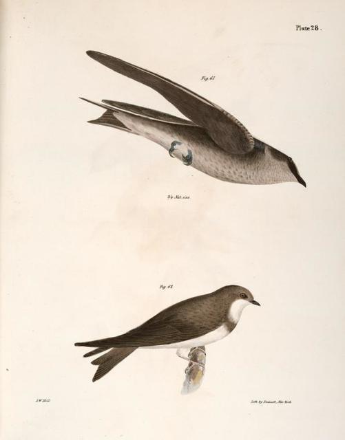 61. The Purple Martin (Hirundo purpurea).  62. The Bank Swallow (Hirundo riparia).