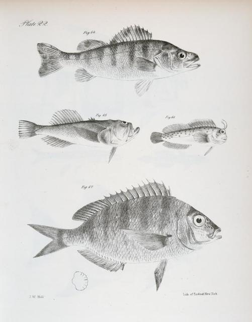 64. The Rough Yellow Perch (Perca serrato-granulata). 65. The unarmed Uranoscopus (Uranoscopus anoplos). 66. The Seaweed Blenny ( Blennius fucorum). 67. The Lake Sheepshead (Corvina oscula).