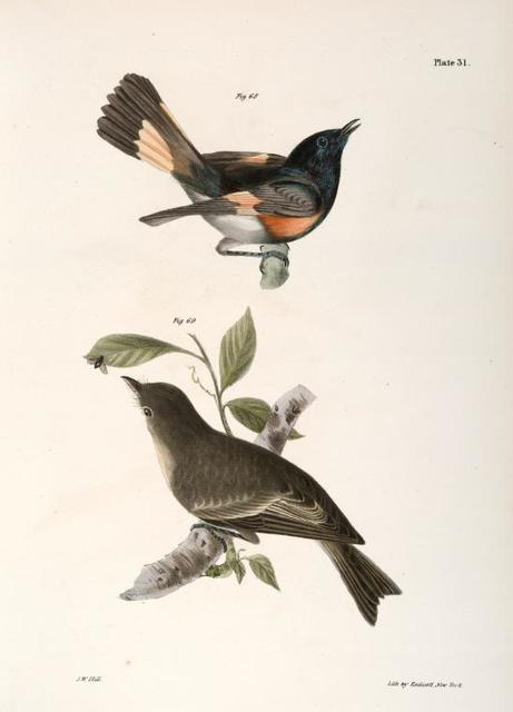 68. The American Redstart (Muscicapa ruticilla). 69. The Wood Pewee (Muscicapa virens).