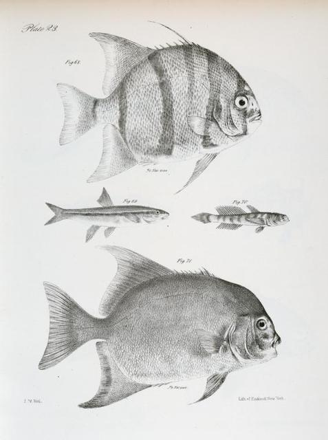 68. The Banded Ephippus (Ephippus faber). 69. The Black-nose Dace (Leuciscus atronasus). 70. The Variegated Goby (Gobius alepidotus). 71. The Moon-fish (Ephippus gigas).