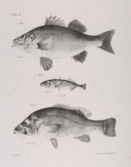 7. The Ruddy Bass (Labrax rufus). 8. The Black Fresh-water Bass (Centrarchus fascatus). 9. The Two-spined Stickleback (Gasterosteus biaculeatus).