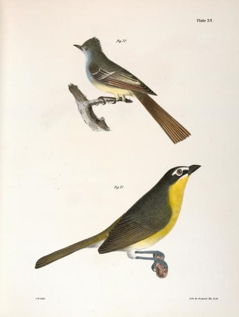 70. The Great-crested Kingbird (Tyrannus crinitus). 71. The Yellow-brested Chat (Icteria viridis).