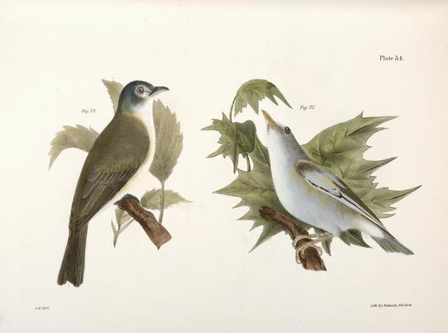 74. The Warblink Greenlet (Vireo gilvus). 75. The Red-eyed Greenlet, var. (Vireo olivaceus).