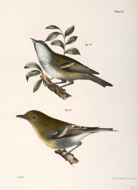 76. The Solitary Greenlet (Vireo solitarius). 77. The Yellow-throated Greenlet (Vireo flavifrons).
