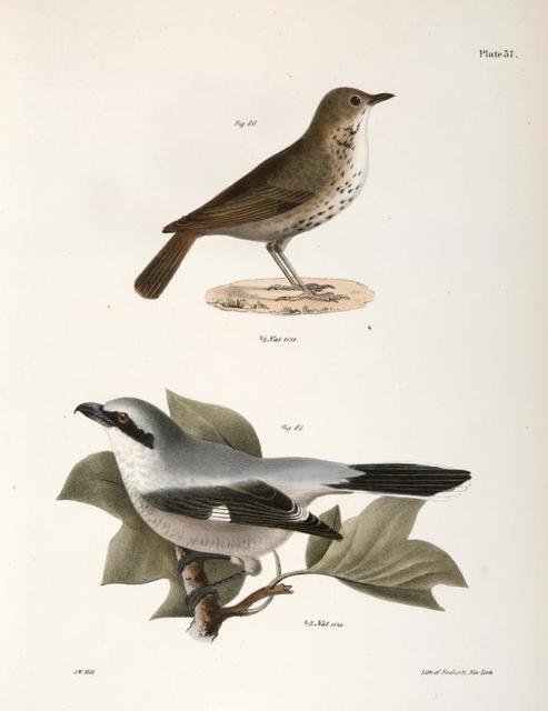 80. The Hermit Thrush (Merula solitaria). 81. The Northern Butcher-bird (Lanius septentrionalis).