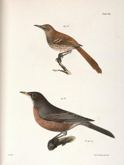82. The Brown Thrush (Orpheus rufus). 83. The American Robin (Merula migratoria).