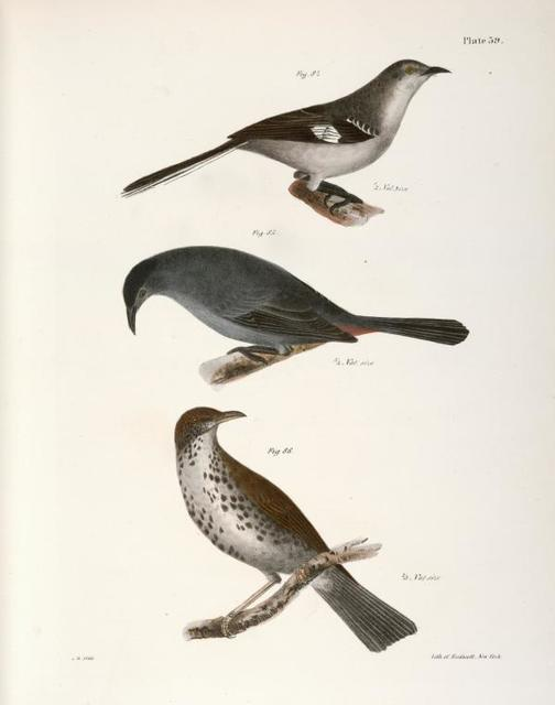 84. The Mocking-bird (Orpheus polyglottus). 85. The Cat-bird (Orpheus carolinensis). 86. The Wood Thrush (Merula mustelina).