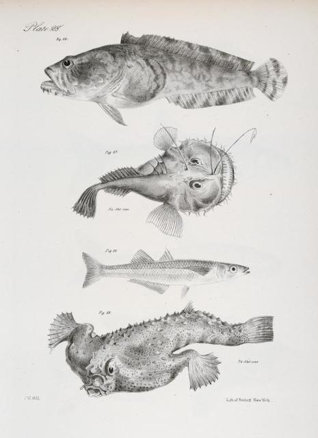 86. The Comon Toad-fish (Batrachus tau). 87. The American Angler (Lophius americanus). 88. The Dotted Silverside (Atherina notata). 89. The Short-nosed Malthæa (Malthæa nasuta).