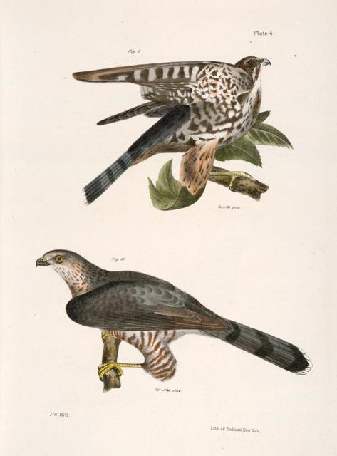 9. The Pigeon Hawk (Falco columbarius). 10. Cooper's Hawk (Astur cooperi).