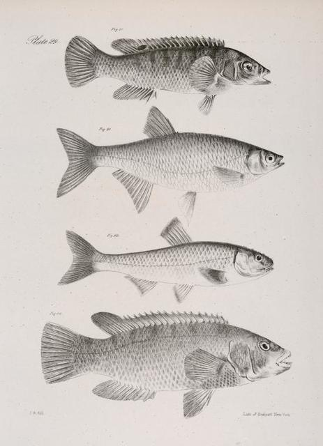 90. The Spotted Bergal (Ctenolabrus uninotatus). 91. The New-York Shiner  (Stilbe chrysoleucas). 92. The Red-fin ( Leuciscus cornutus). 93. The Common Bergall (Ctenolabrus ceruleus).