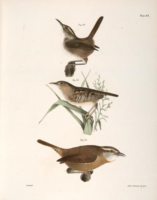 92. The Marsh Wren (Troglodytes palustris). 93. The Short-billed Wren (Troglodytes brevirostris). 94. The Mocking Wren (Troglodytes ludovicianus).