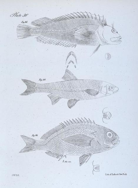 94. The Cirrhous Lepisoma (Lepisoma  cirrhosum). 95. The Bay Shiner (Leuciscus chrysopterus). 96. The Sharp-finned Corvina (Corvina oxyptera).