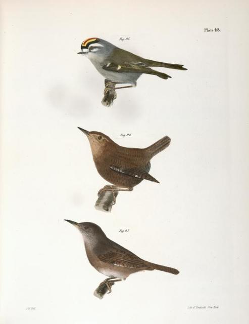 95. The Golden-crested Kinglet (Regulus satrapa). 96. The Winter Wren (Troglodytes hyemalis). 97. The House Wren (Troglodytes ædon).