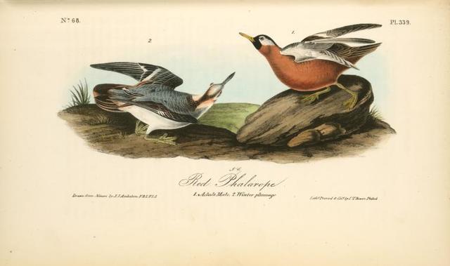 Adult Phalarope. 1. Adult. Male. 2. Winter plumage.