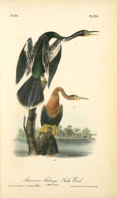 American Anhinga Snake Bird. 1. Male. 2. Female.