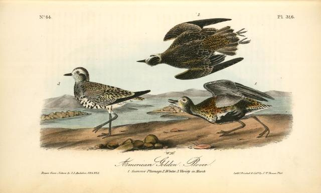 American Golden Plover. 1. Summer plumage, 2. Winter, 3. Variety in March.