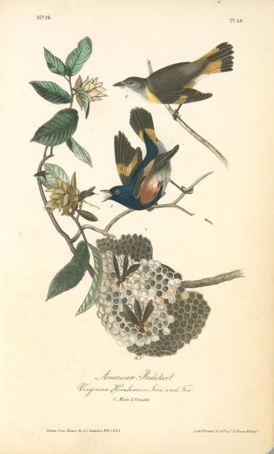 American Redstart, 1. Male, 2. Female. (Virginian Hornbeam or Iron-wood Tree.)
