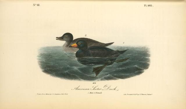 American Scoter Duck. 1. Male. 2. Female.