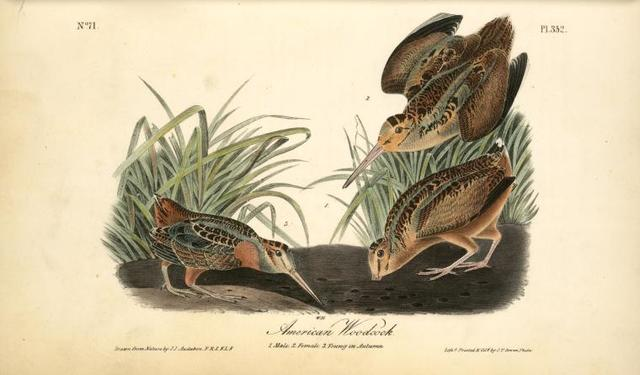 American Woodcock. 1. Male. 2. Female.3. Young in Autumn.