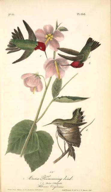 Anna Humming bird. 1. 2. Males. 3. Female. (Hibiscus Virginicus.)