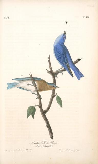 Arctic Blue Bird. 1. Male. 2. Female.