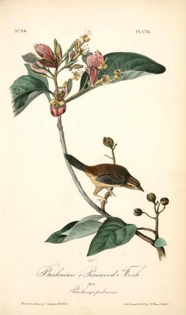 Bachman's Pinewood Finch. Male. (Pinckneya pubescens)