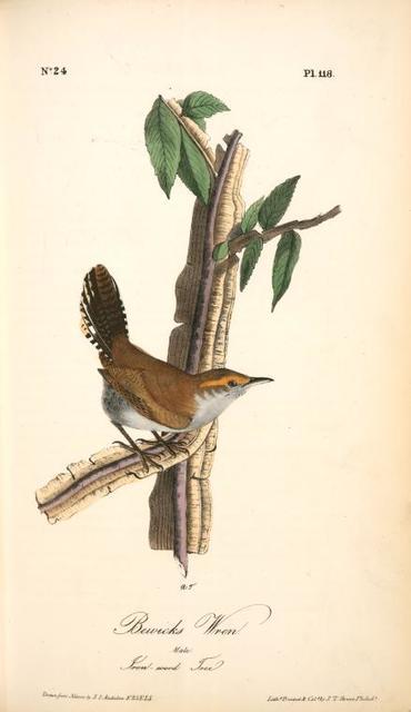 Bewick's Wren. Male. (Iron-wood Tree)