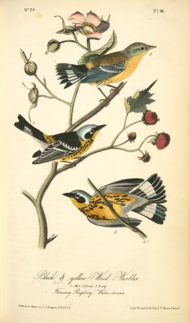 Black-and-yellow Wood-Warbler. 1. Male. 2. Female. 3. Young. (Flowering Raspberry. Rubus odoratus.)