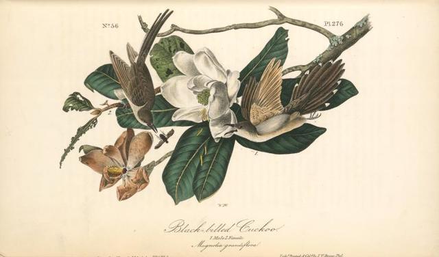 Black-billed Cuckoo. 1. Male. 2. Female. (Magnolia grandiflora).