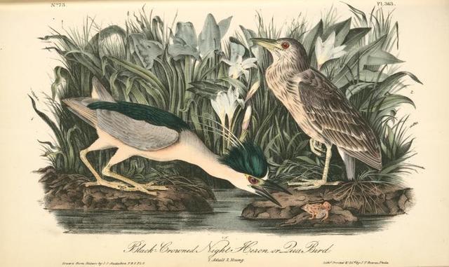 Black-crowned Night Heron, or Qua Bird. 1. Adult. 2. Young.