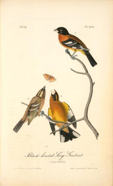 Black-headed Song-Grosbeak. 1. Males. 2. Female. 3. Young Male. (Ground Hemlok. Taxus canadensis.)