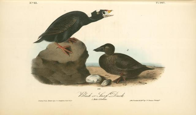 Black or Surf Duck. 1. Male. 2. Female.