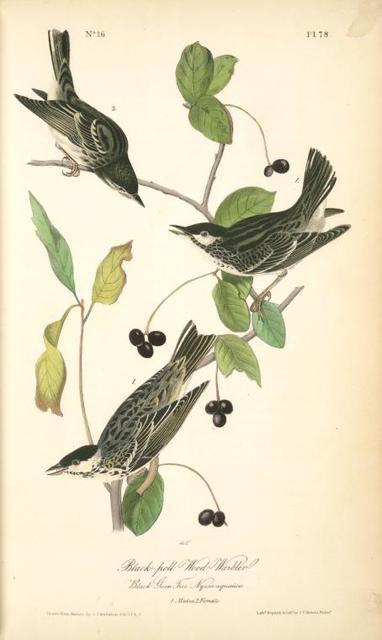 Black-poll Wood-Warbler, 1. Males, 2. Female. (Black Gum Tree. Nyssa aquatica.)