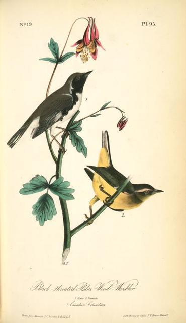 Black-throated Blue Wood-Warbler. 1. Male. 2. Female. (Canadian Columbine.)