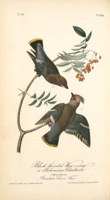 Black-throated Wax-wing, or  Bohemian Chatterer. 1. Male. 2. Female. (Canadian Service Tree).