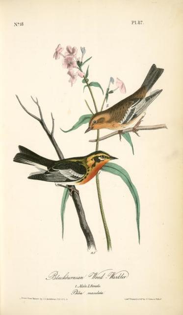 Blackburnia Wood-Warbler. 1. Male, 2. Female. (Phlox maculata.)