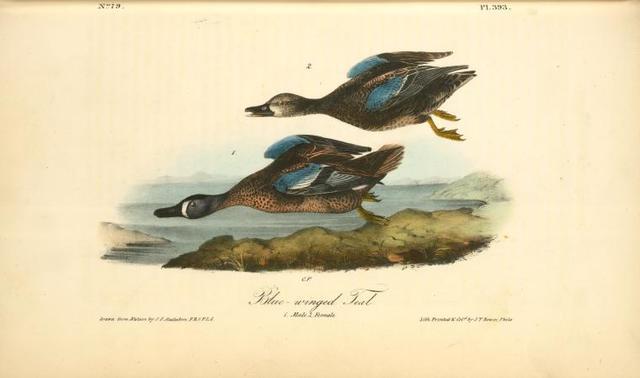 Blue-winged Teal. 1. Male. 2. Female.