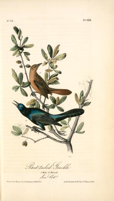 Boat-tailed Grackle. 1. Male. 2. Female. (Live Oak. [Quercus virens])