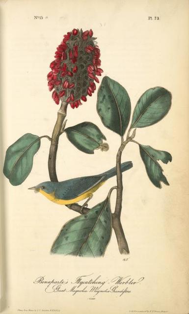 Bonaparte's Flycatching-Warbler, 1. Male, 2. Female. Great Magnolia. Magnolia Grandiflora.