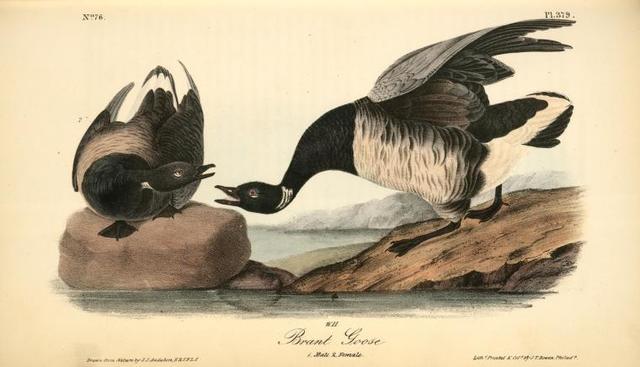Brant Goose. 1. Male. 2. Female.