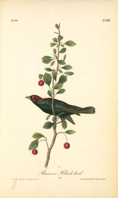 Brewers Black-bird. Male.